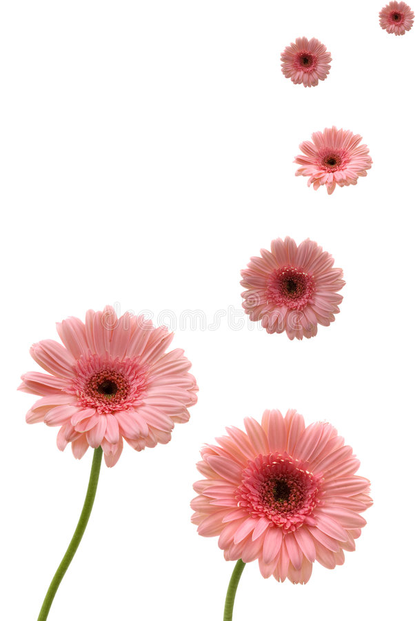 Gerbera-Gänseblümchen stockbild