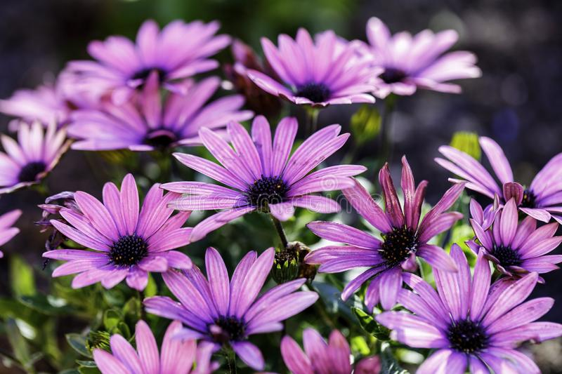 African Daisies stock photography