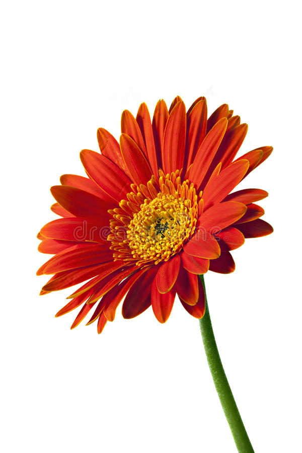 Download Gerbera Or Gerber Daisy Isolated Stock Image - Image: 10219891