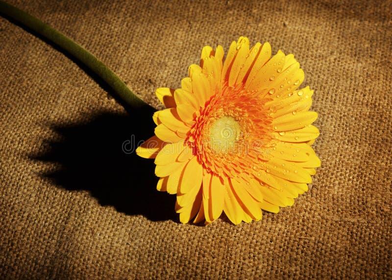 Gerbera gialla fotografie stock libere da diritti