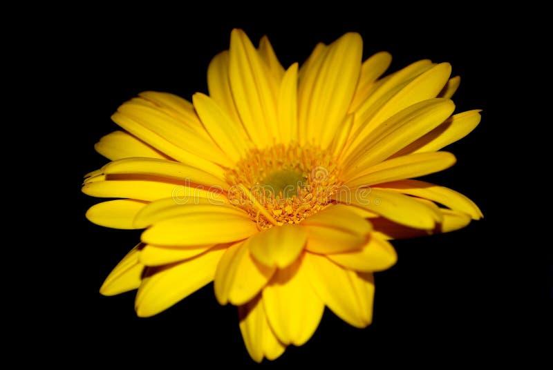 Gerbera gialla immagini stock