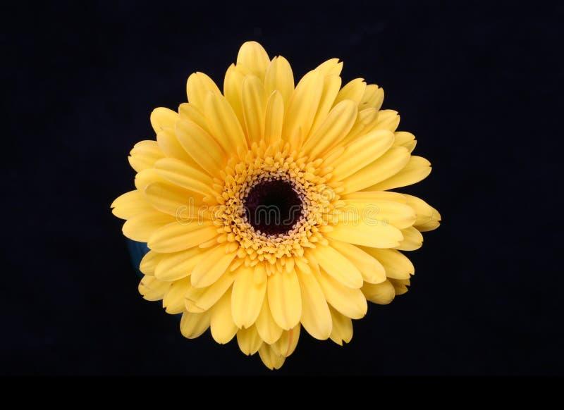 Gerbera giallo immagini stock