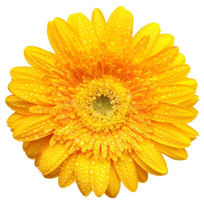 Gerbera giallo con le gocce dell'acqua isolate immagini stock