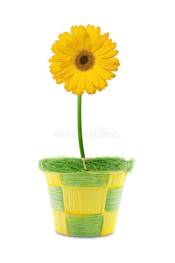 Gerbera giallo in un POT. immagini stock libere da diritti