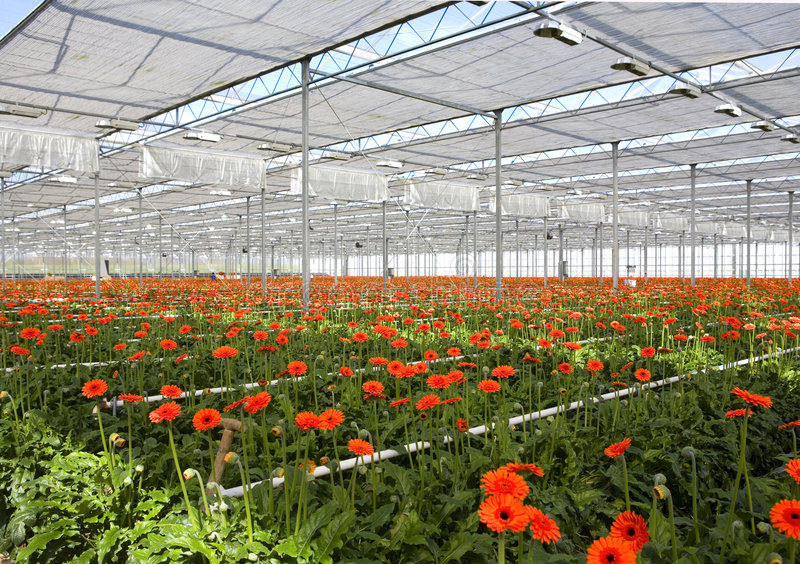 Gerbera in greenhouse stock photos