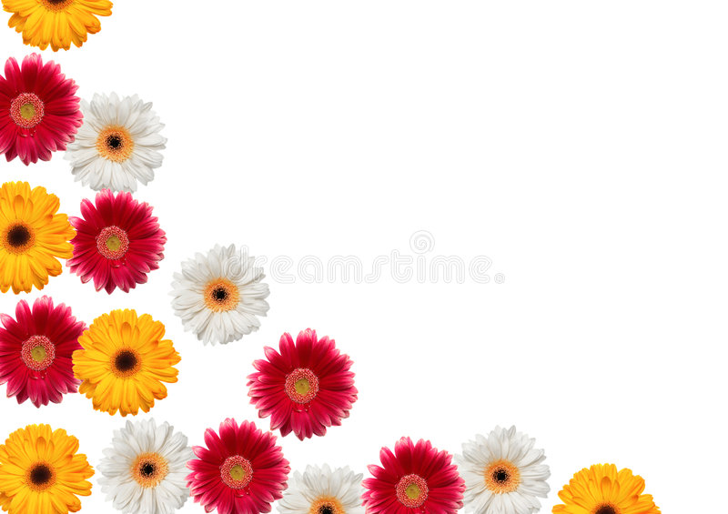 Gerbera isolated on white royalty free stock photo