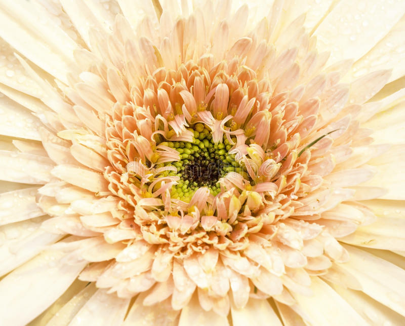 Gerbera ist sehr populärer und schöner tiefer Fokus stockbilder