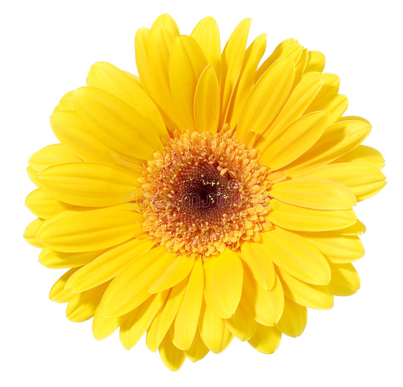 Gerbera jaune photos stock