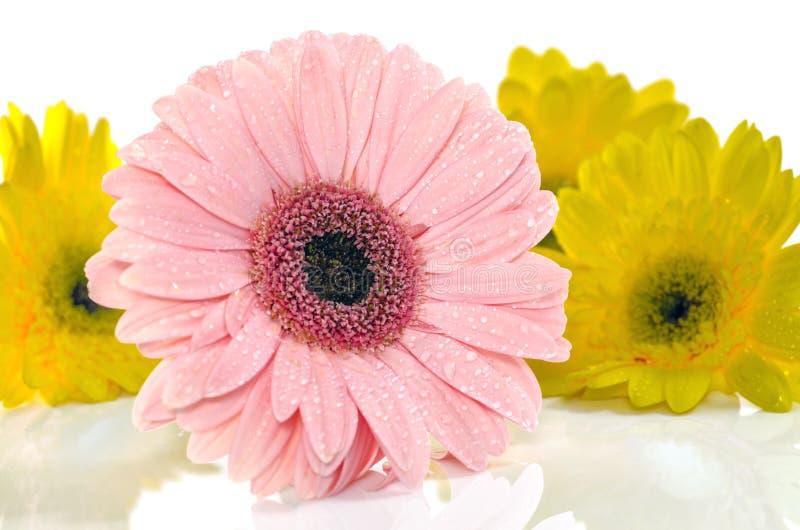 Gerbera jaune rose dans la belle pleine fleur sur le foyer blanc et sélectif images libres de droits
