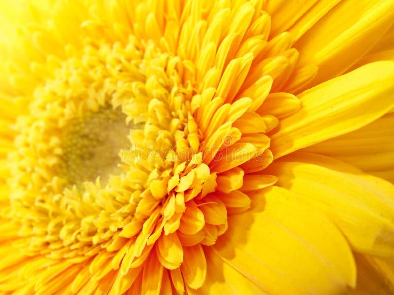 gerbera kolor żółty fotografia royalty free