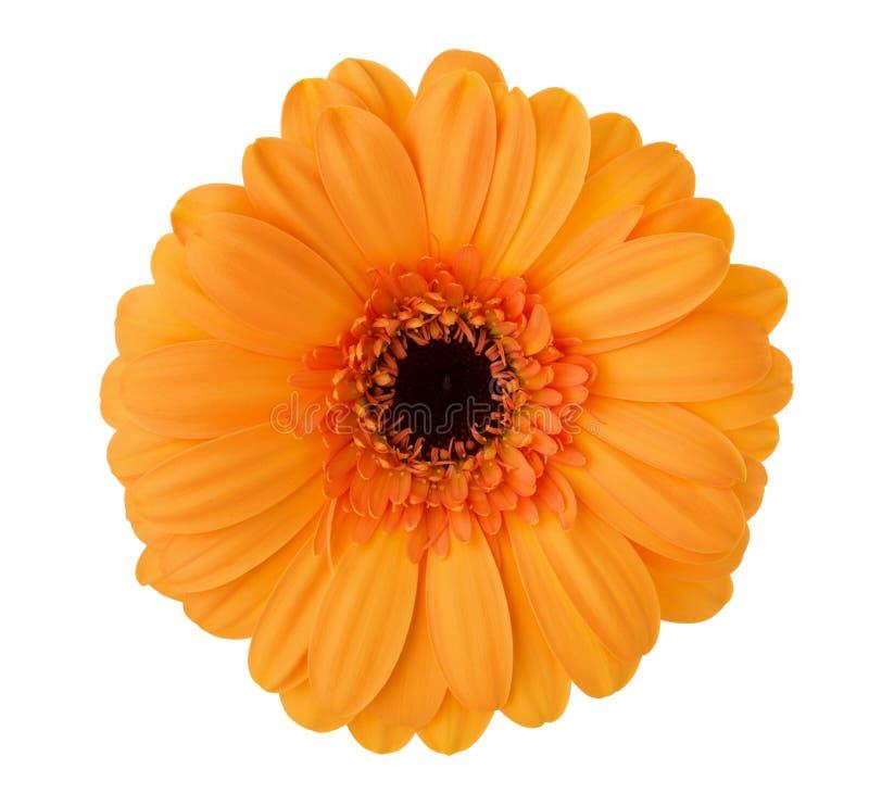 Gerbera kwiat odizolowywający na białym tle pomarańczowy kolor obraz royalty free