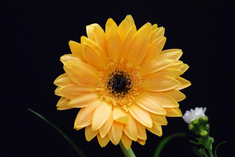 Gerbera kwiat piękno kolor zdjęcie royalty free