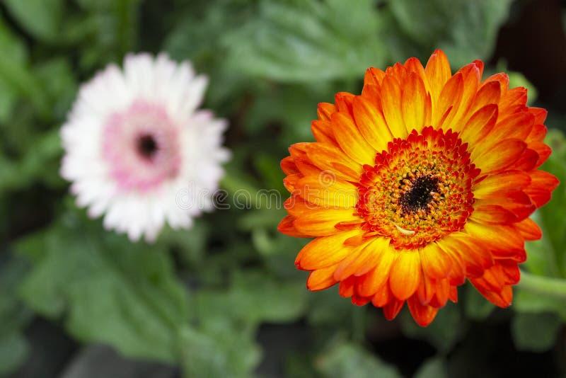 Gerbera kwiaty, genus Asteraceae lub stokrotki rodzina, maharashtra, India fotografia royalty free