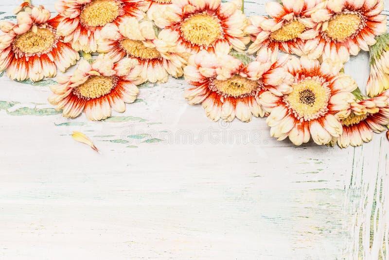 Gerbera kwiaty graniczą na lekkim podławym modnym tle obraz stock