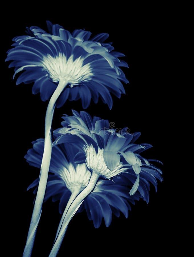 Gerbera kwiaty odizolowywający na czarnym tle obraz royalty free