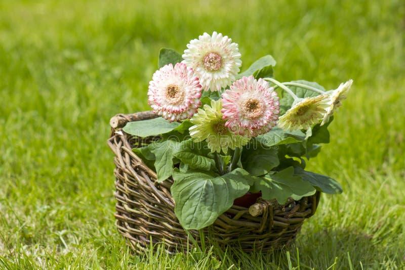Gerbera kwitnie w koszu zdjęcie stock