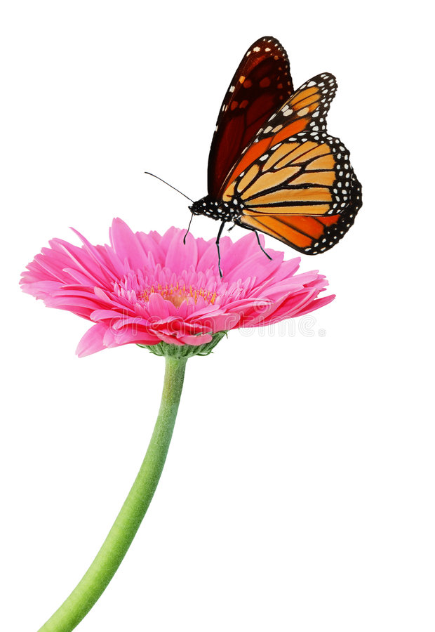 Download Gerbera And Monarch Royalty Free Stock Photos - Image: 8224488