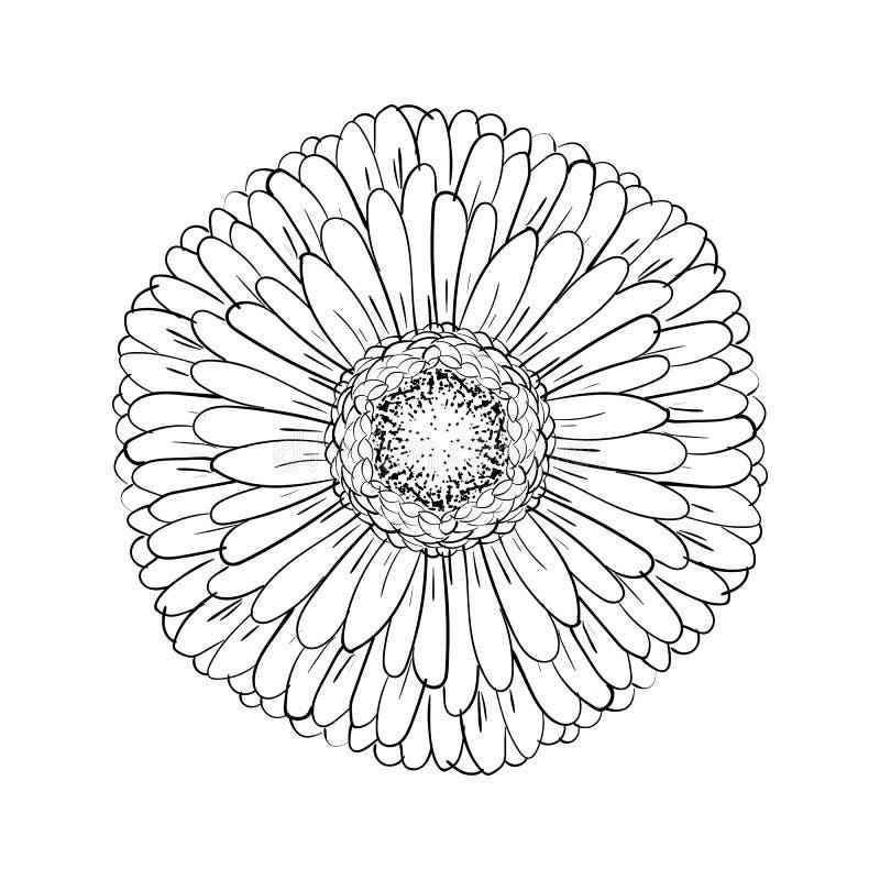 Gerbera monocromático bonito isolado no fundo branco para cartões, convites do casamento, aniversário, o dia de Valentim, ilustração royalty free