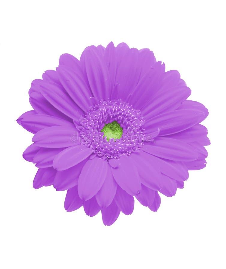 gerbera odosobnione purpurowy obrazy stock