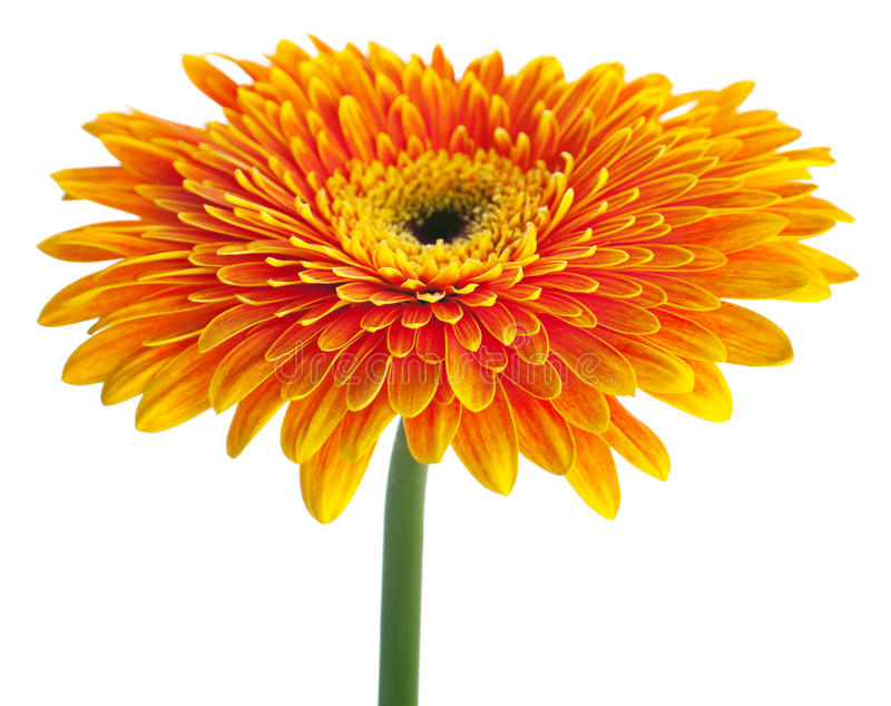 Gerbera orange photographie stock libre de droits