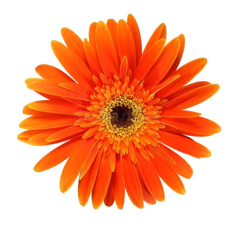 Gerbera orange photo stock