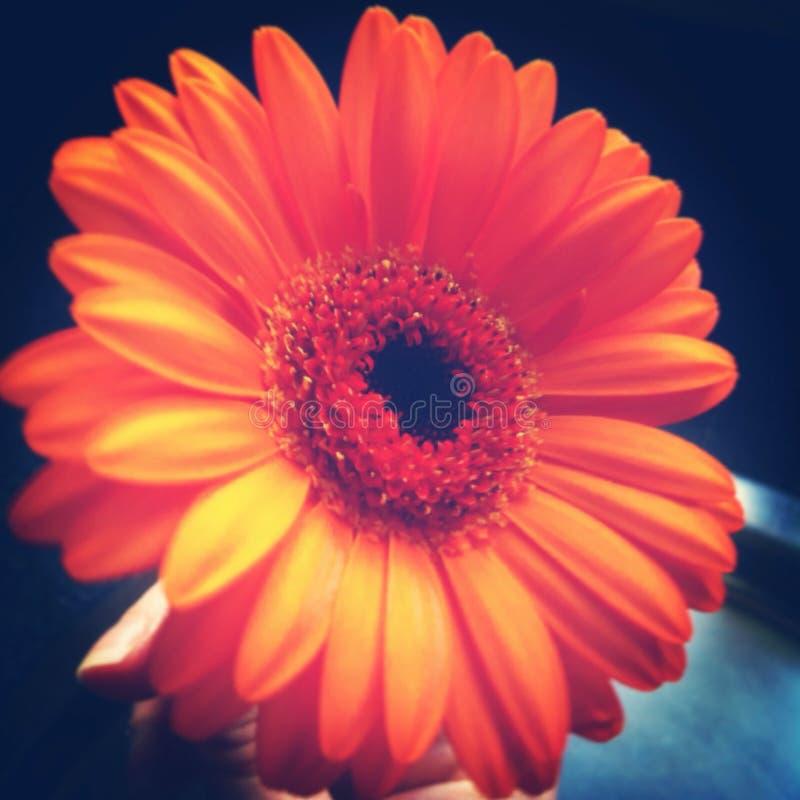 Gerbera orange image stock