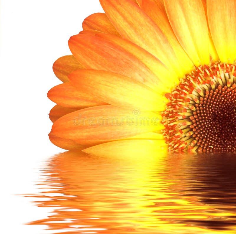 Gerbera orange dans l'eau image libre de droits