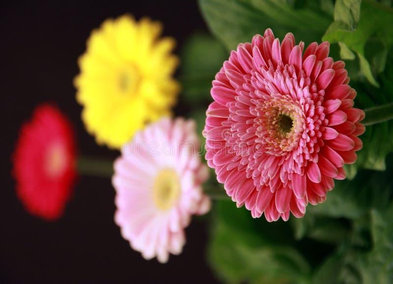 Download Gerbera plants stock image. Image of asteraceae, springtime - 18450803