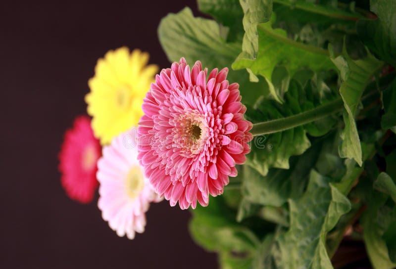 Gerbera plants stock photo