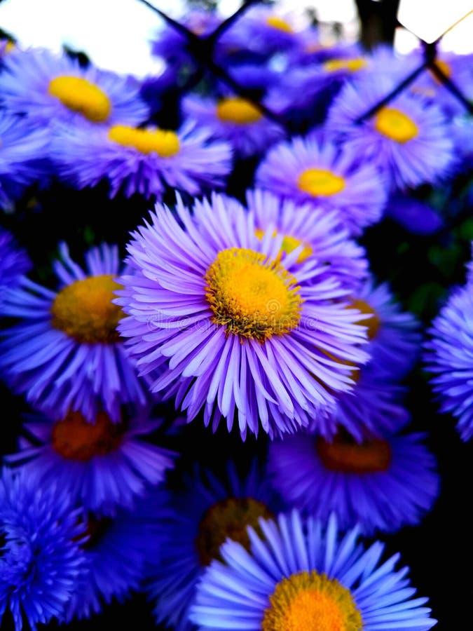Gerbera pourpre de fleur image stock