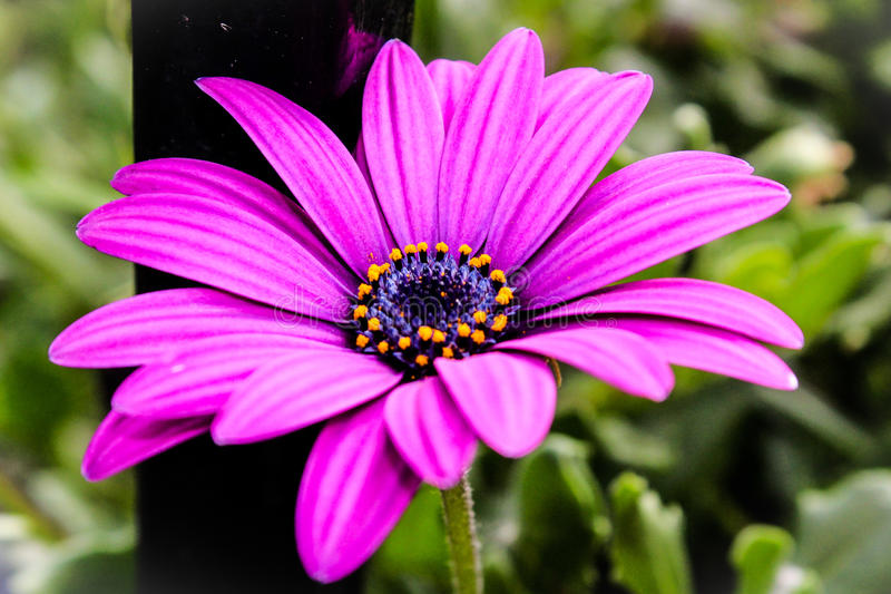 Gerbera purpury obrazy stock