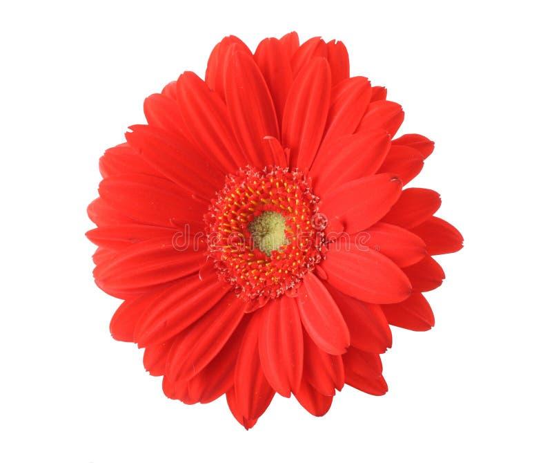 Gerbera rojo aislado foto de archivo libre de regalías