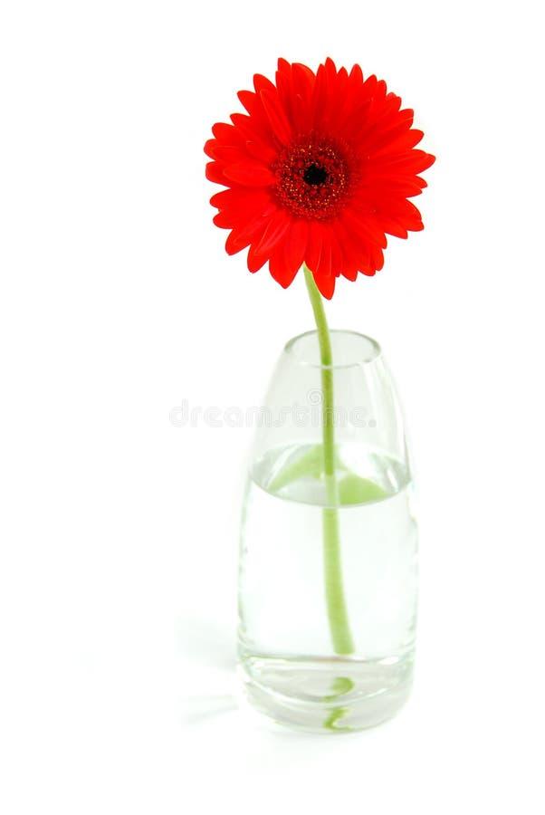 Gerbera rojo en un florero foto de archivo