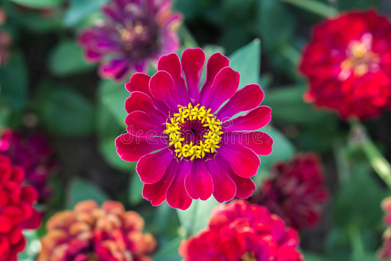 Gerbera rojo Flores hermosas románticas fotografía de archivo libre de regalías