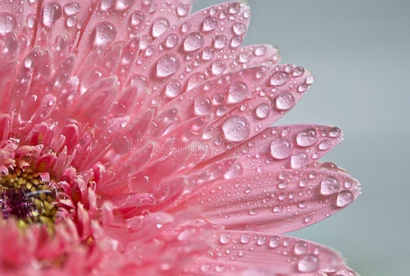 Gerbera rosa immagini stock libere da diritti