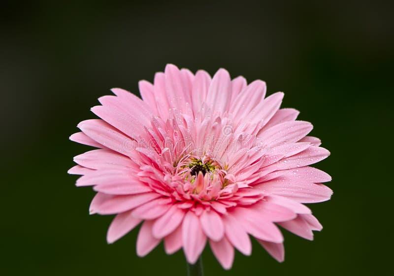 Gerbera rosa fotografia stock