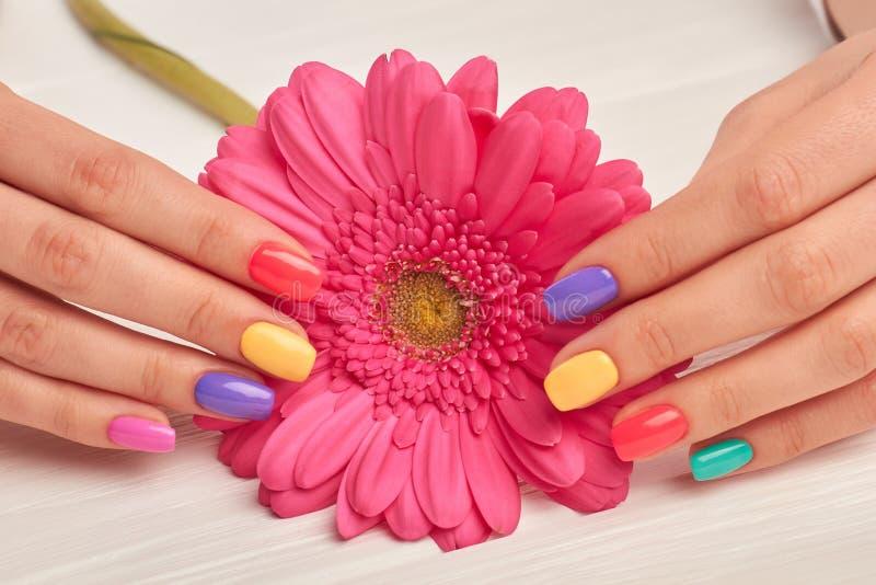 Gerbera rosa in mani manicured femmina fotografie stock
