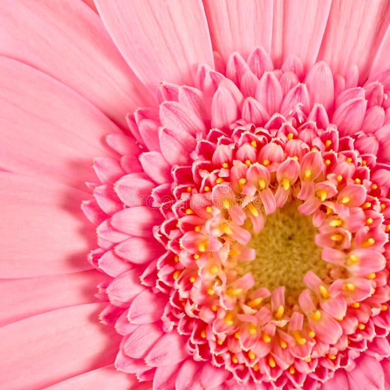 Gerbera rosado imagen de archivo