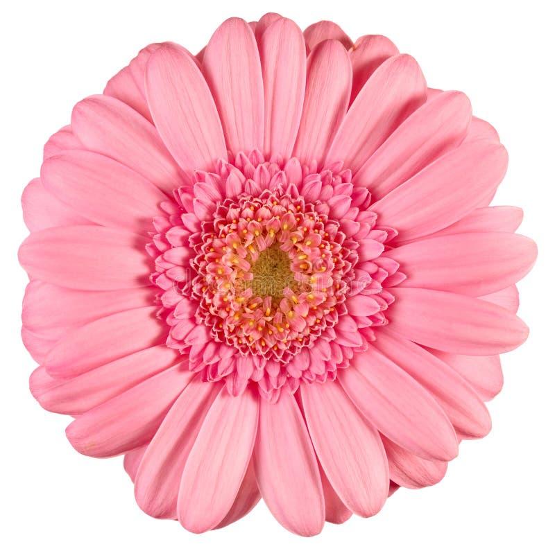 Gerbera rosado fotografía de archivo libre de regalías