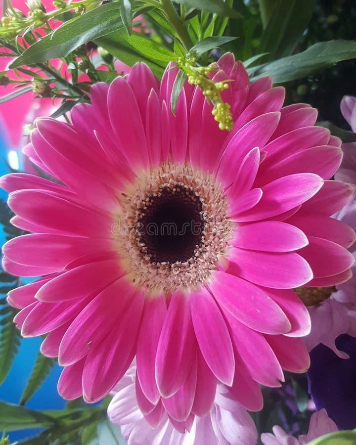 Gerbera rosado foto de archivo libre de regalías