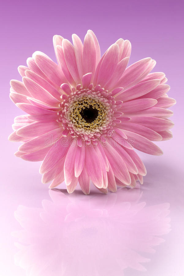 Gerbera rose photos stock