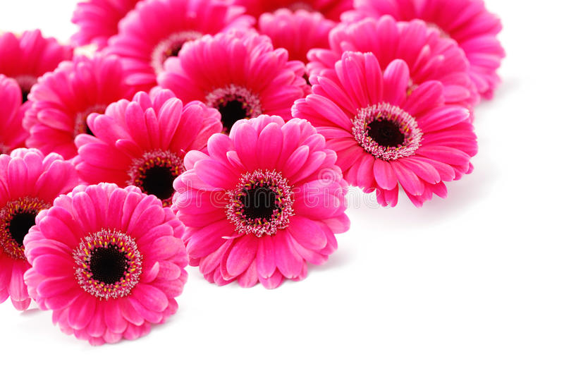 Gerbera rose photo stock