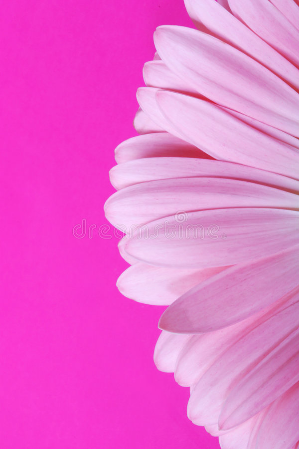 Gerbera rose photographie stock libre de droits