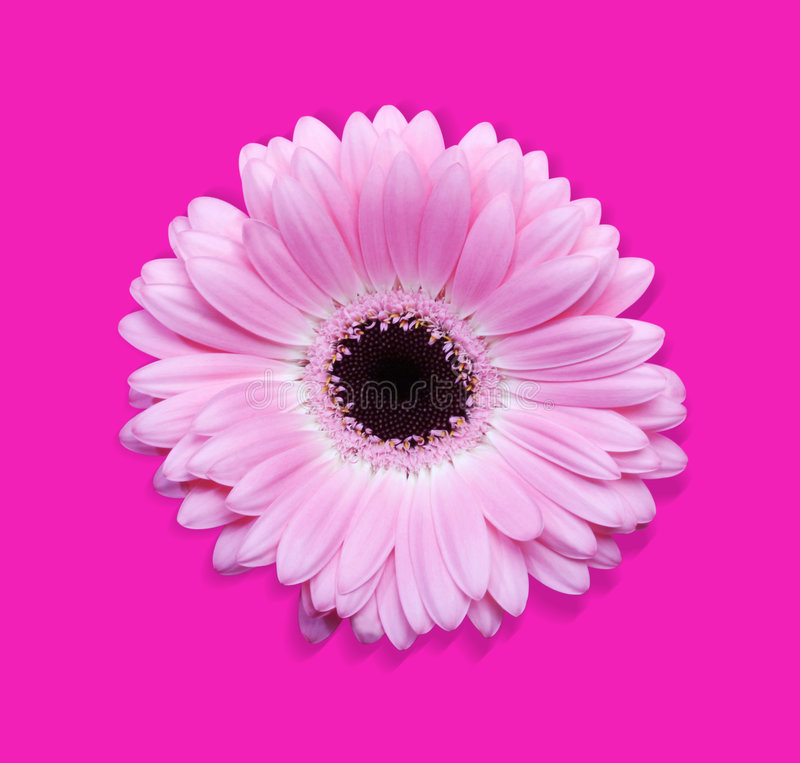 Gerbera rose avec le chemin photo stock