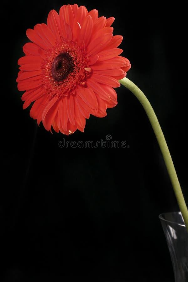 Download Gerbera rosso sul nero fotografia stock. Immagine di nave - 209490