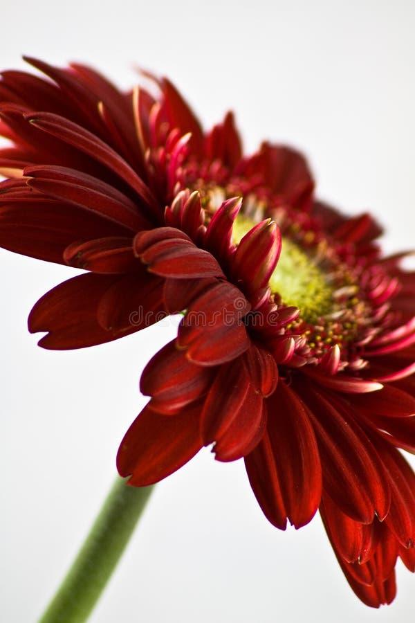 Gerbera rouge photos stock