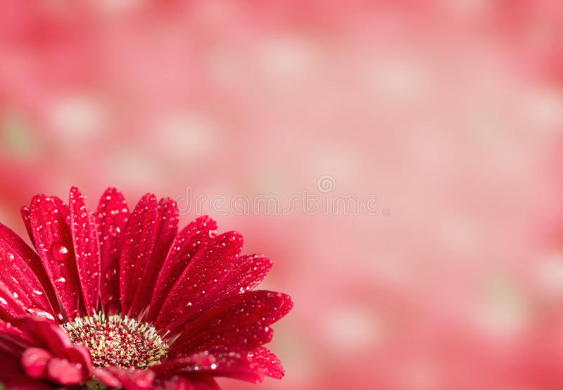 Gerbera rouge photo libre de droits