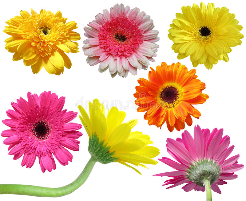Gerbera stokrotki kwiatu kolekcja fotografia royalty free