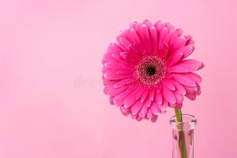 Gerbera su un fondo rosa immagini stock