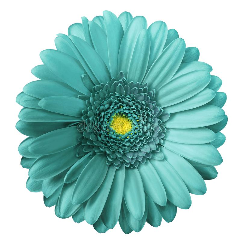 Gerbera turquoise flower on white isolated background with clipping path. no shadows. Closeup. Nature royalty free stock photos